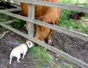 Chickpea sniffs a cow
